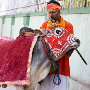 City Moment - Happy Cow, Sri Aurobindo Marg