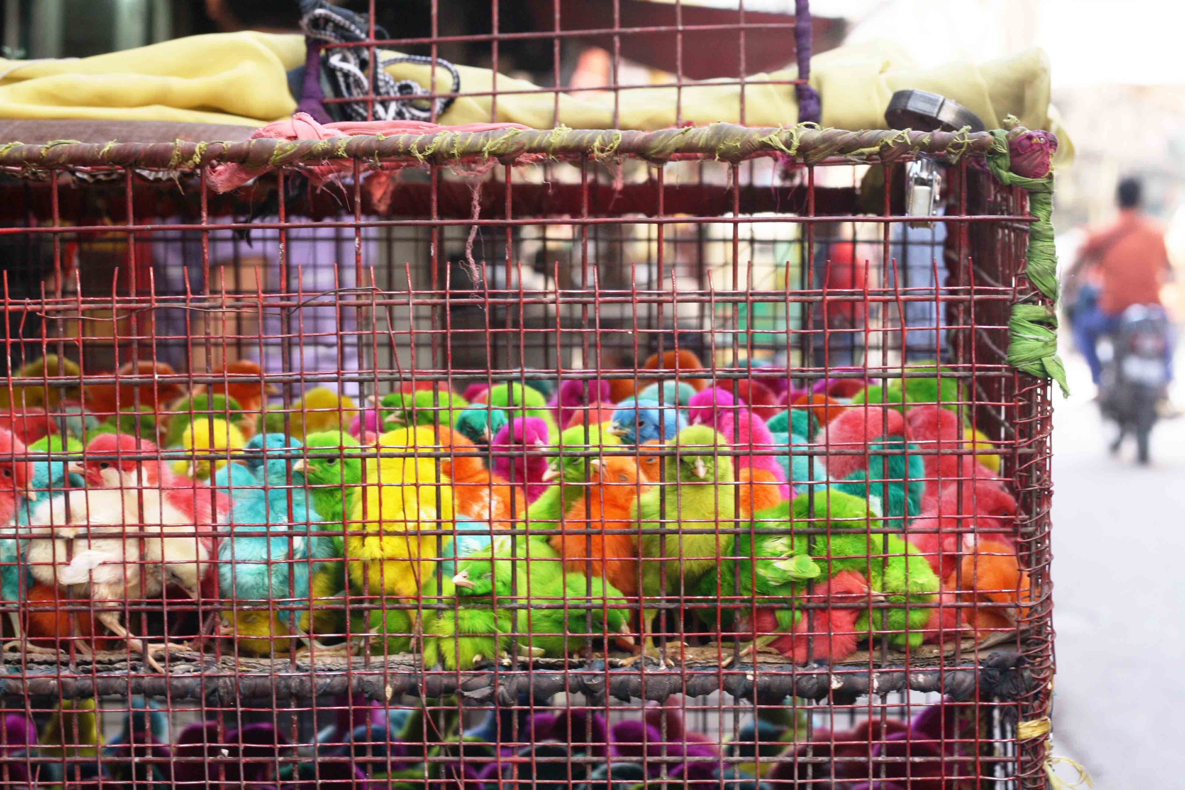 City Moment – Dyed Chicks, Okhla