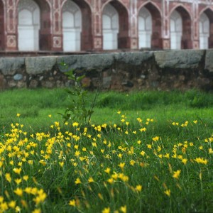City Nature – Yellow Flowers, Humayun's Tomb