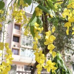 City Season - The Sulky Amaltas Trees, Hailey Road
