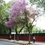 City Nature - Blue Trees, Maharshi Raman Road