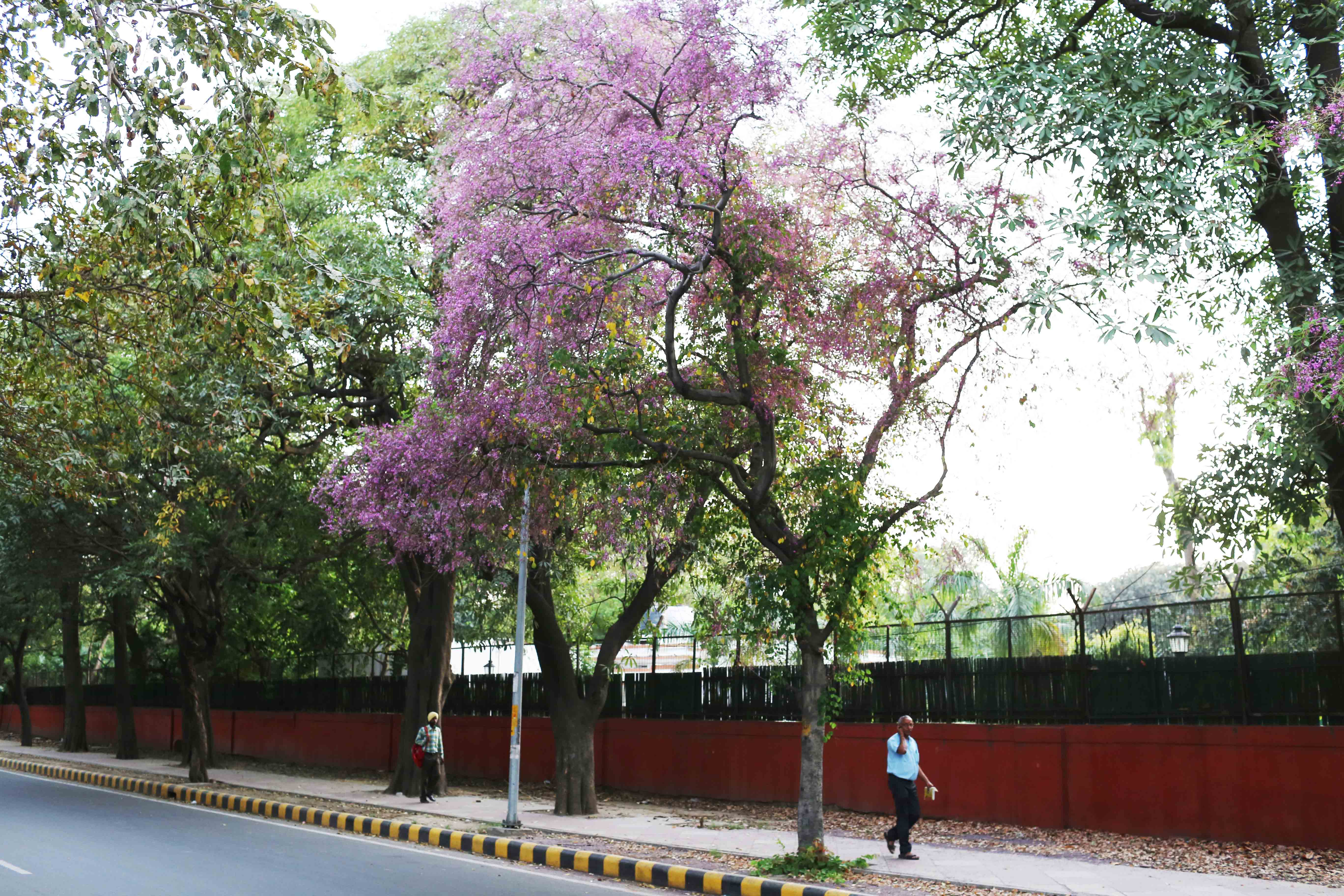 City Nature - Blue Trees, Maharshi Raman Road