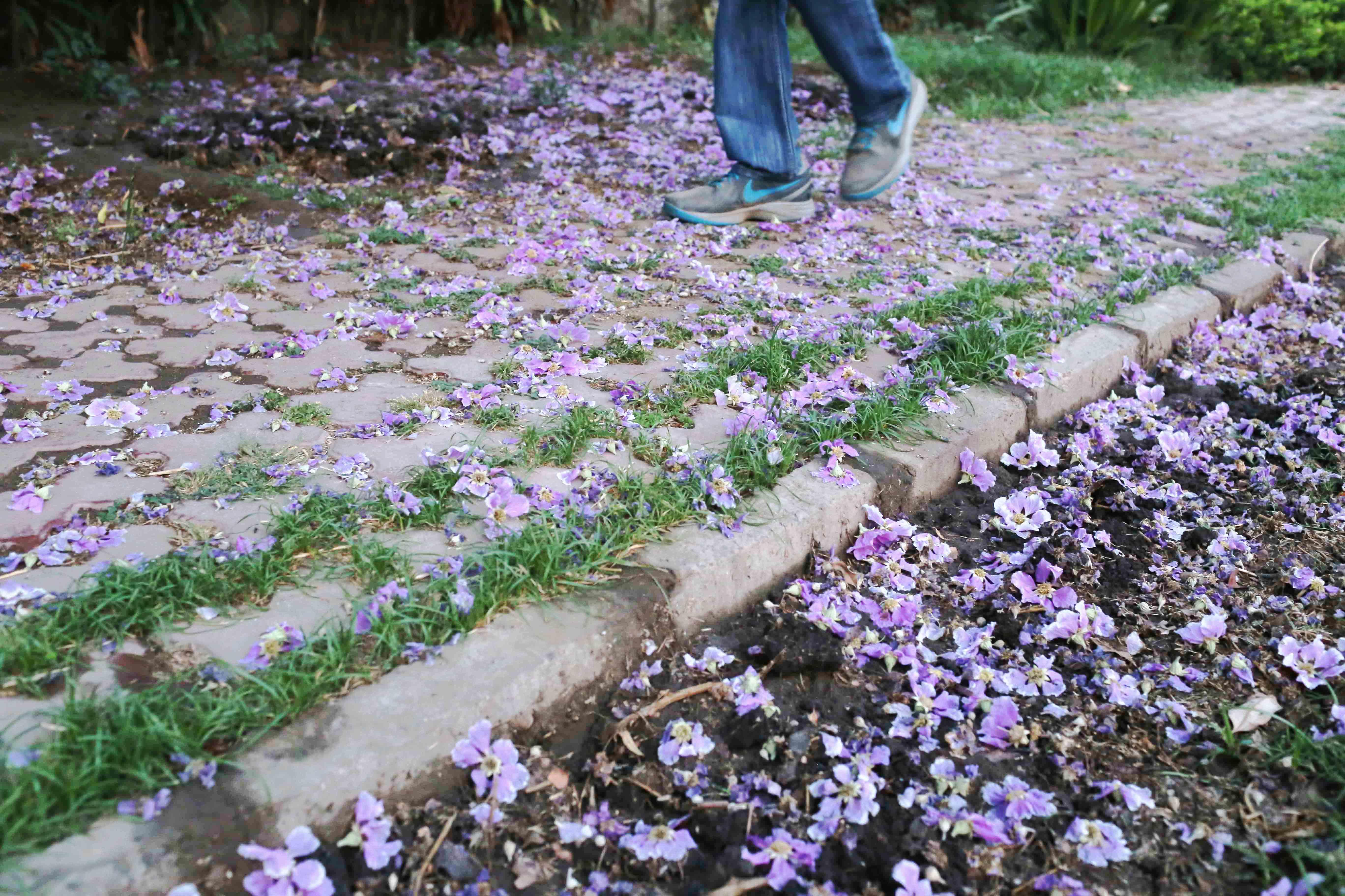 City Season - The Jarul Flowers of Summer, Jor Bagh