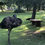 City Hangout - Emu Sighting, Vasant Vihar
