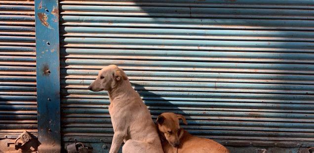 City Life - Two Dogs in Love, Pahari Imli