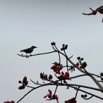 City Season - First Semal Flowering, ITO