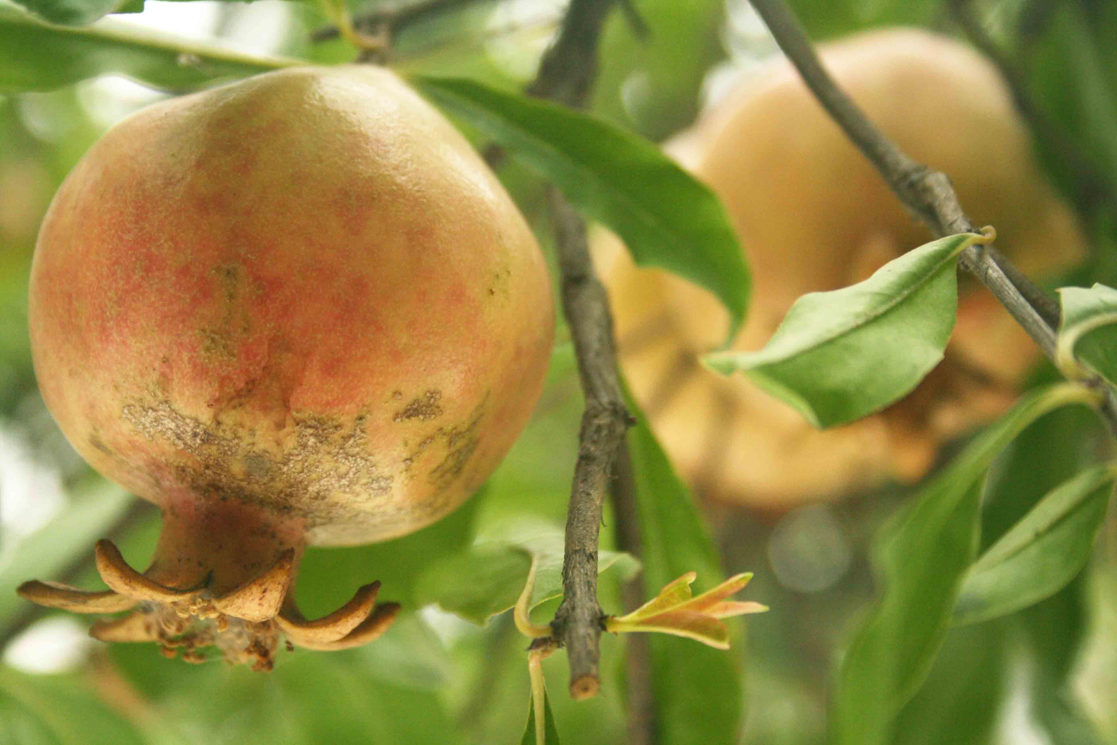 City Nature – Pomegranate Tree, Nizamuddin Chilla