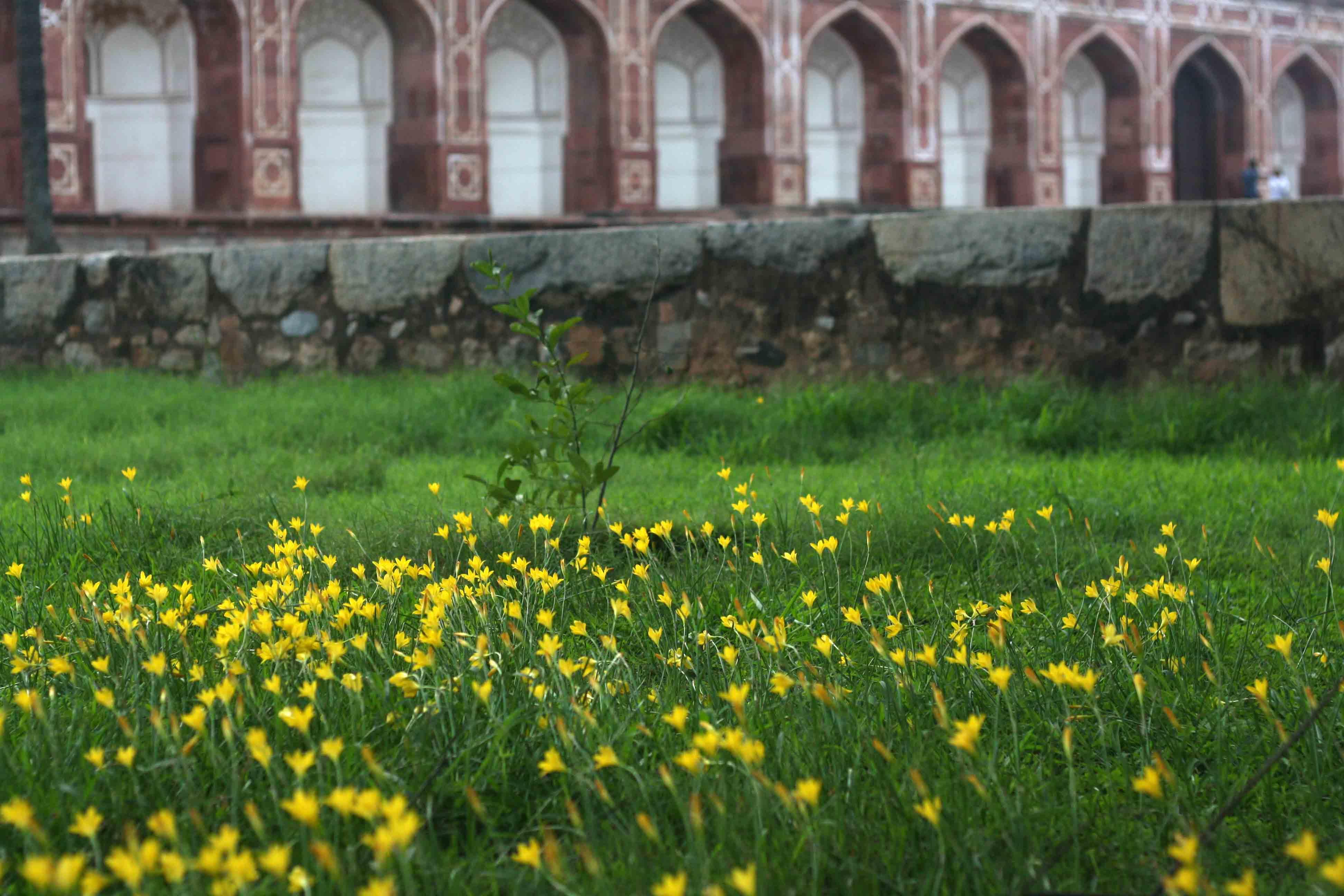 City Nature – Yellow Flowers, Humayun's Tomb