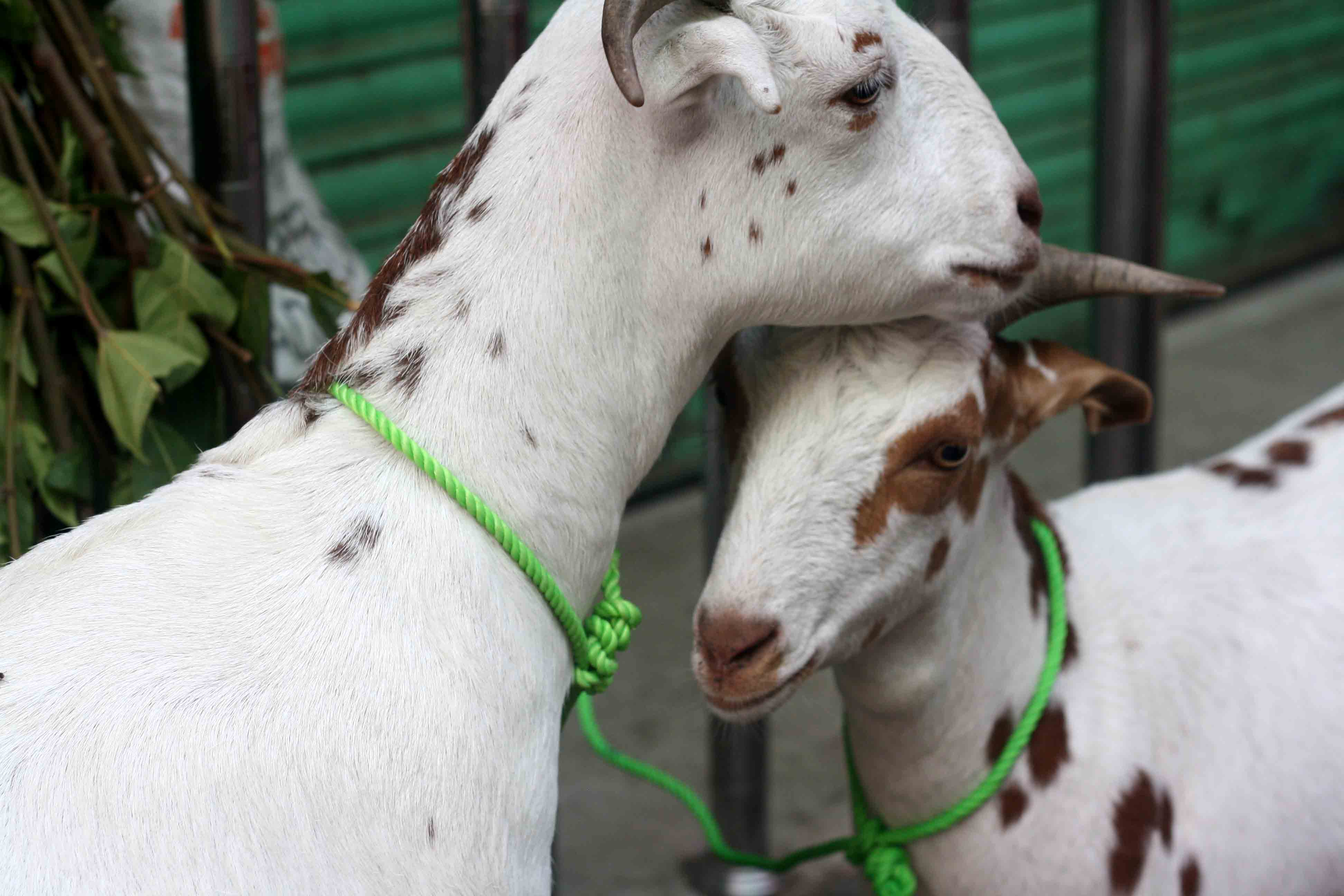 Photo Essay - Bakra Eid Goats, Old Delhi