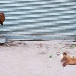 City Faith - Reading the Goat's Mind, Gali Chamre Wali