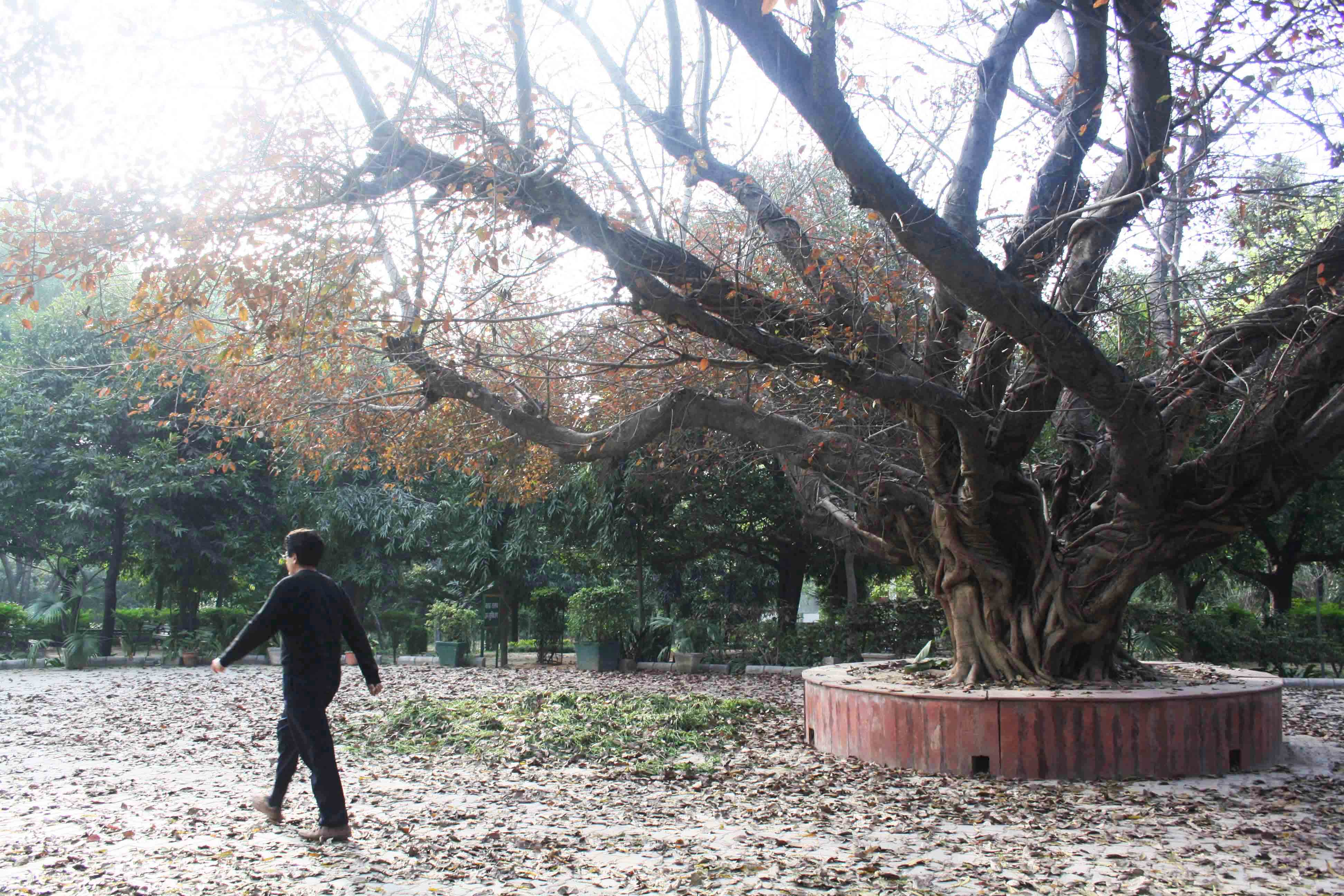 City Nature - The Majestic Pilkhan Tree, Deer Park