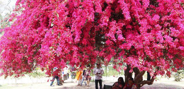 City Season - Spring Bloom of Two Bougainvillea Trees, Lodhi Garden