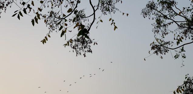 City Nature - Homeward-Bound Birds, Central Delhi