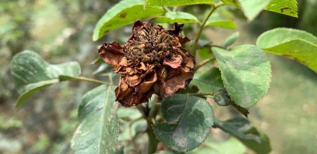 City Nature - Alternative Roses, Gurgaon