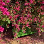 City Season - Bougainvillaea Bloom, Lodhi Garden