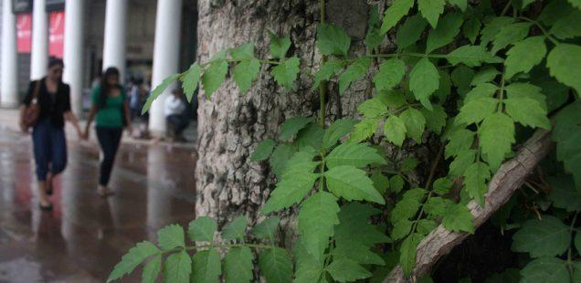City Landmark - Semal Tree, Connaught Place